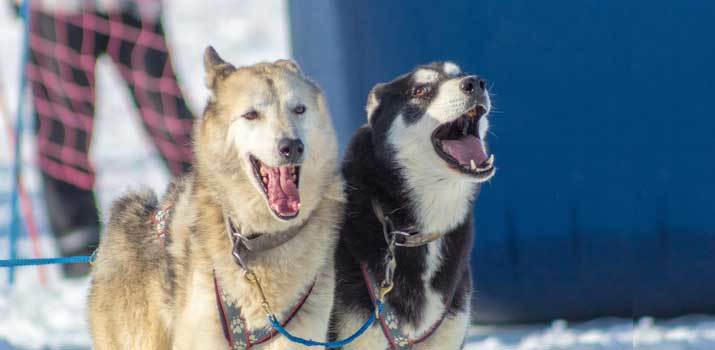 vocal howling huskies