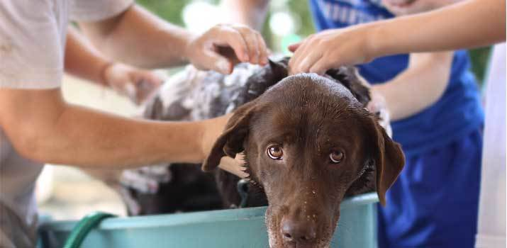 using head and shoulders on a dog in a bath tub