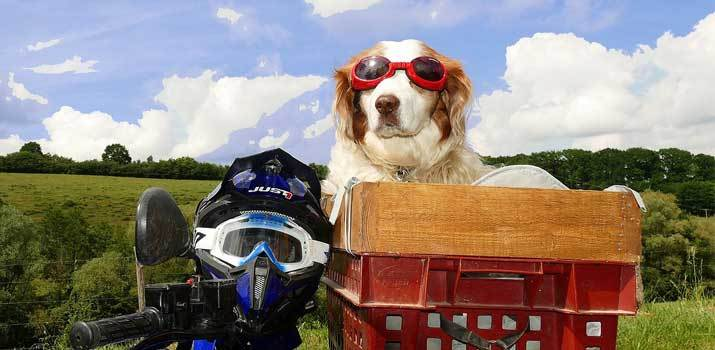 Dog with a helmet and wearing goggles on a motorcycle basket