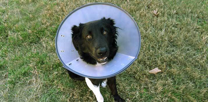dog wearing cone after neutering