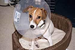 dog with an Elizabethan collar, also knownas an E-collar,