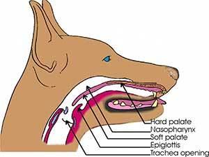 epiglottis anatomy in dogs