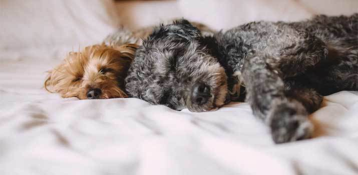 Dog sleeping on pet hair resistant hypoallergenic bedding