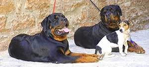 Rottweilers have no problem being around other dog