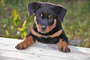 a Rottweiler can become a wonderful family dog.