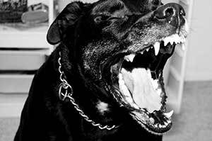 vicious looking rottweiler barking
