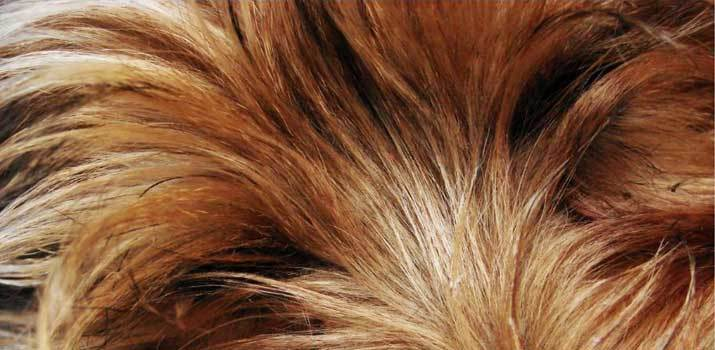 Brown orange dog fur which can be dyed