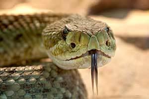 venomous snake ready to bite