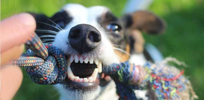 dog showing signs of  possessive aggression with a dog toy