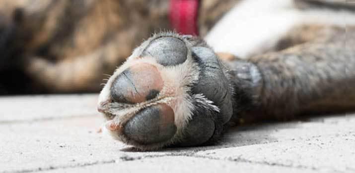 cracked dog paw