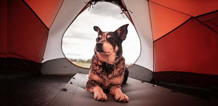 dog inside a spacious tent