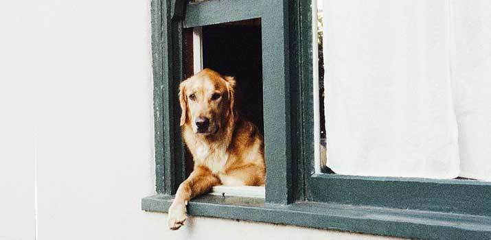 Golden Retriever hanging out of window guarding the house