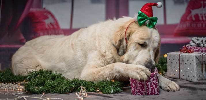Dog opening its gift in front of the chritsmass tree