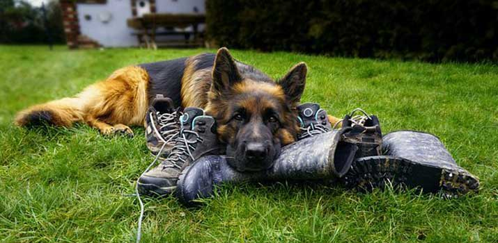 German Shepherd dog breed is a good breed to serve and train as a police dog