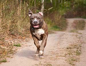 active pitbull