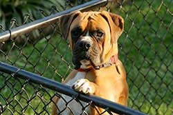 dog looking over the fence