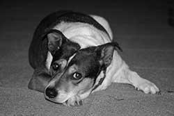 Scared dog fears shock collar