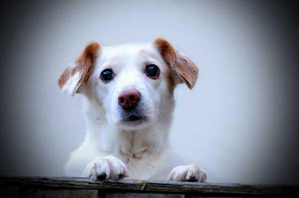 dog with diminished eyesight